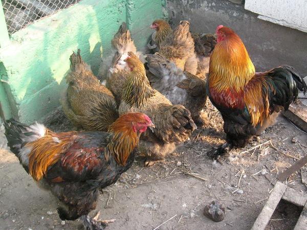 Птичий помёт - ценное органическое удобрение