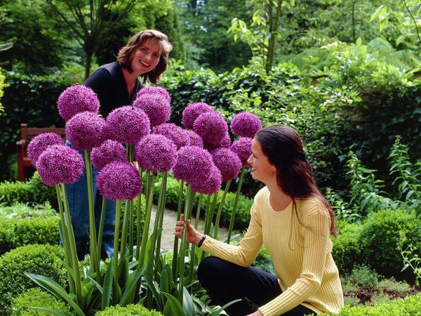 Диаметр соцветий достигает 25 см!