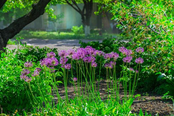 Декоративные луки способны украсить любой сад