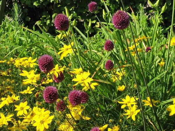 Лук круглоголовый (Allium sphaerocephalon L)