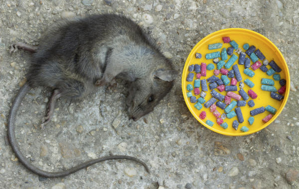 Ратициды помогут избавиться от нежеланных гостей - крыс