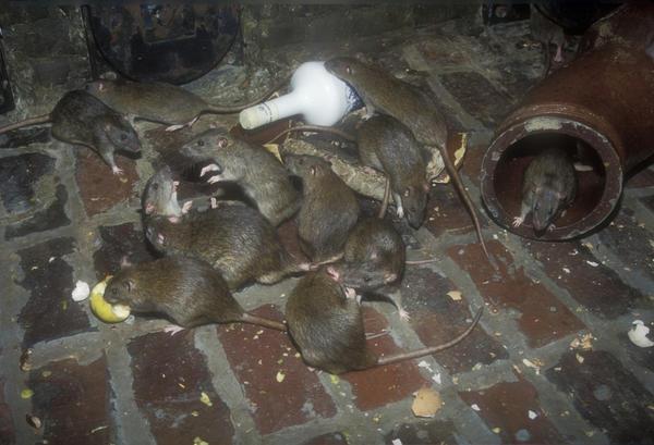 Препараты с этилфенацином способны уничтожить всю местную популяцию грызунов
