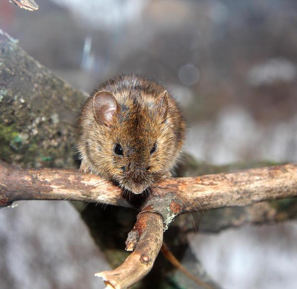 За зиму грызуны способны дочиста обглодать кору плодовых деревьев