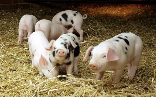 Свиной навоз лучше использовать в комбинации с конским