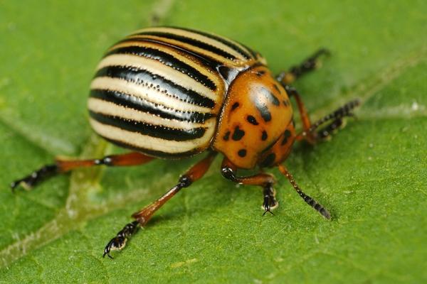 Колорадский жук - злейший враг огородников