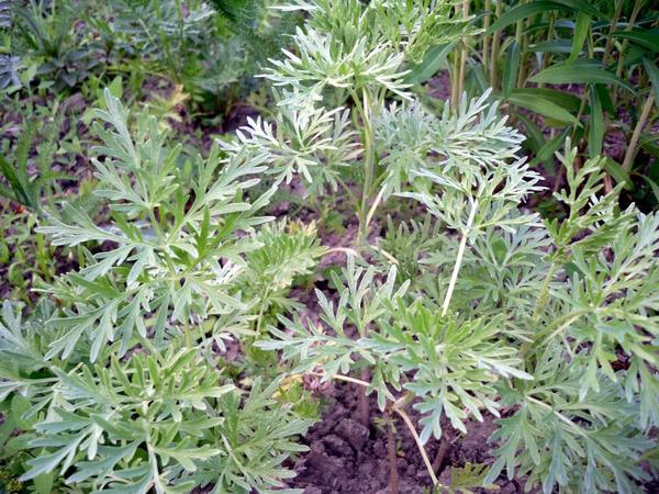 Трава полыни используется в борьбе с колорадским жуком
