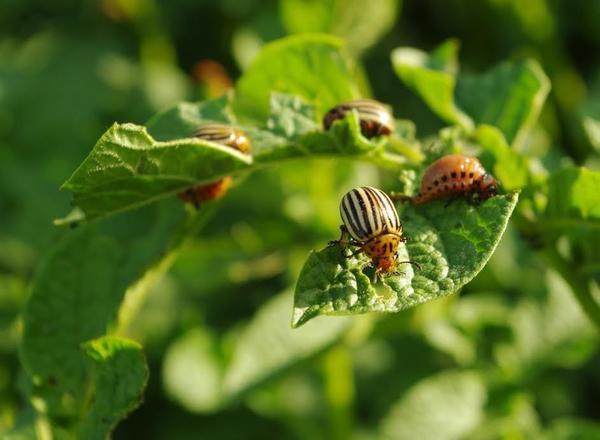 Колорадский жук - взрослые особи и личинки
