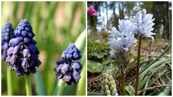 Бельвалия темно-фиолетовая. Фото с сайта google.com. Бельвалия гиацинтовая. Фото с сайта greekflora.blogspot.com