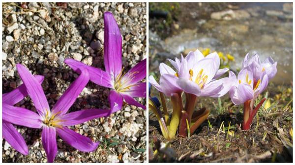 Мерендера горная. Фото с сайта floressilvestresdelmediterraneo.blogspot.com. Мерендера трехстолбиковая. Фото с сайта photos.v-d-brink.eu