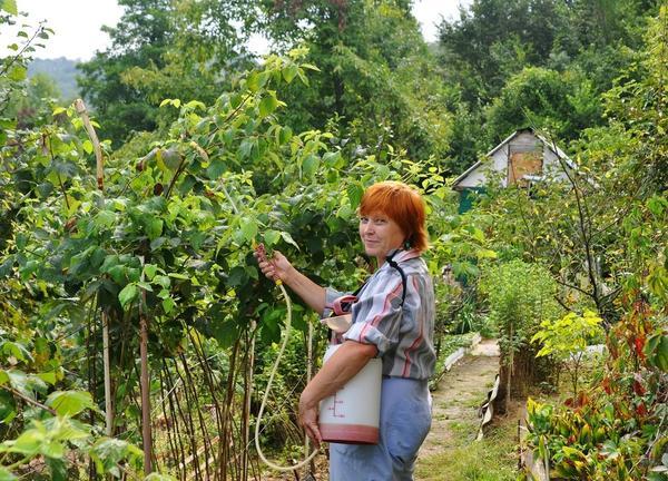Борьба с вредителями малины