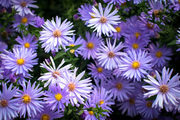 Астры будут радовать цветением до глубокой осени