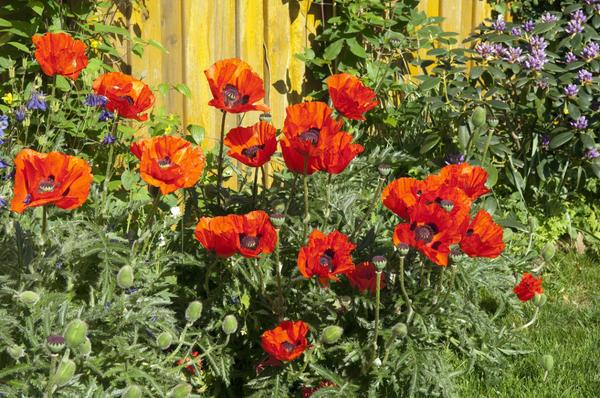 Восточный мак - пламенный цветок для солнечной клумбы