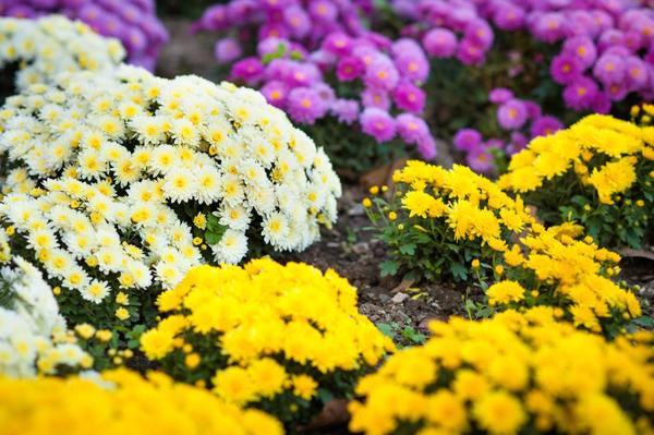 Садовые хризантемы - классика осенних солнечных клумб