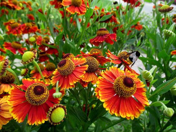 Гелениум осенний. Фото с сайта roslyna.com