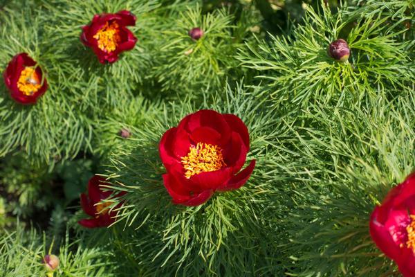 У пиона тонколистного красивы и цветки, и листья