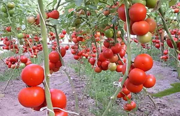 Формирование томатов в один стебель. Фото с сайта teplicno.ru