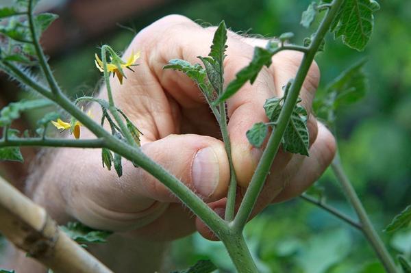 Удаление пасынка. Фото с сайта gardenersworld.com
