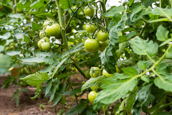 Правильное пасынкование томатов увеличивает урожай