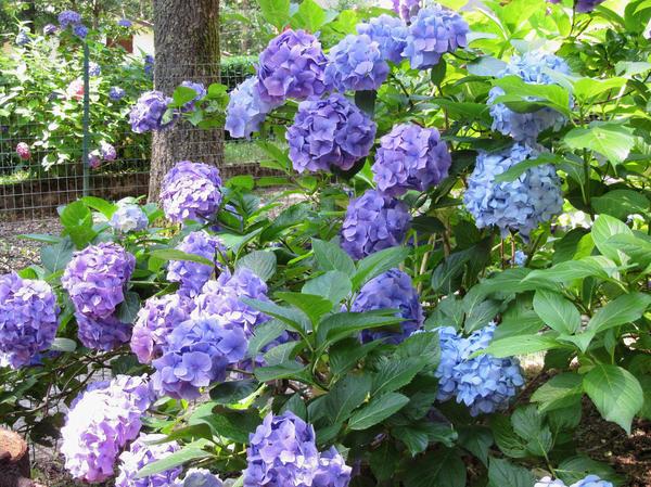 Гортензия - царственный цветок