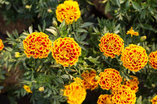 Бархатцы будут радовать цветением до заморозков