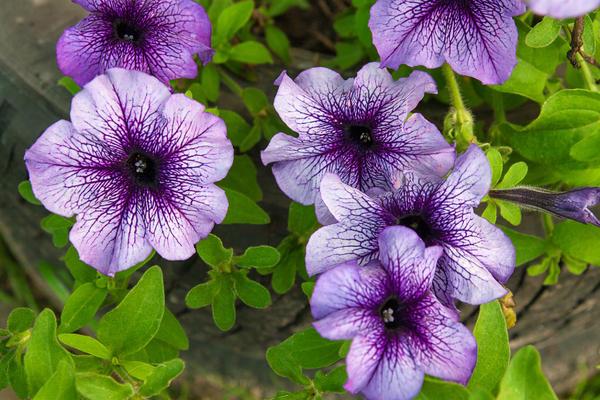 Богатство окрасок цветков петунии поражает воображение