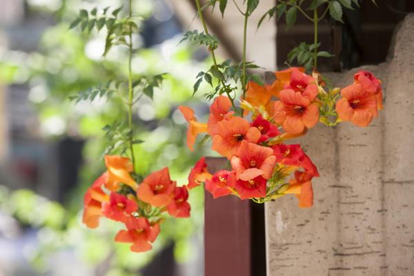 Эффектные цветки кампсиса