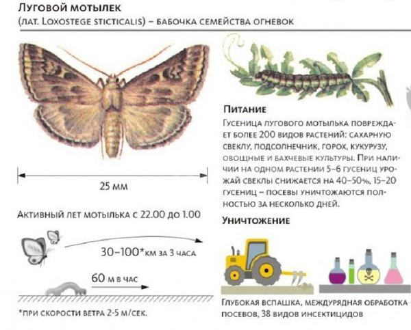 Луговой мотылек - очень опасный вредитель. Фото с сайта obj.altapress.ru