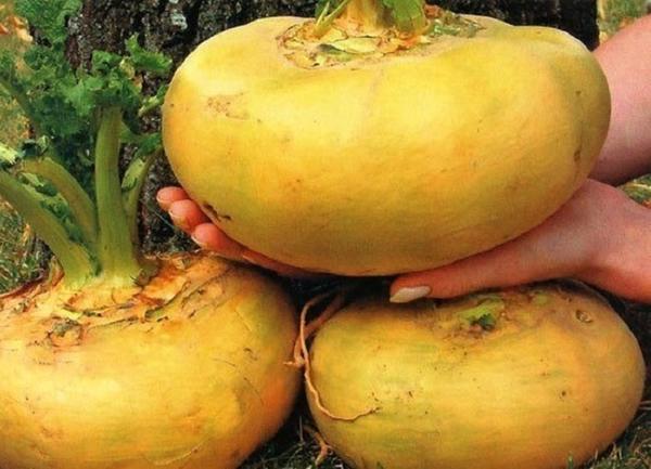 Крупные корнеплоды репы. Фото с сайта superda4nik.ru