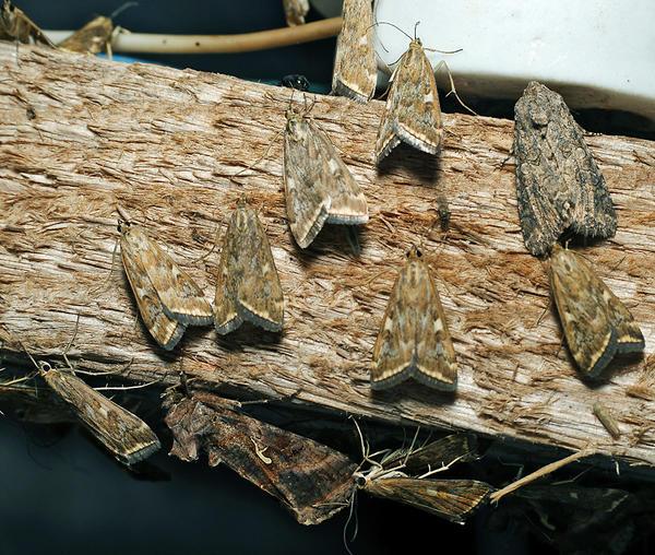 Луговые мотыльки. Фото с сайта pelion- agro.com.ua