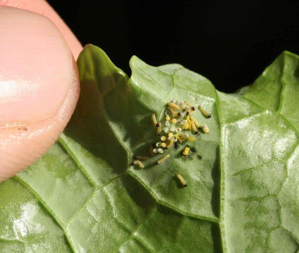 Яйца и гусеницы лугового мотылька. Фото с сайта greekbutterfliesmoths.files.wordpress.com