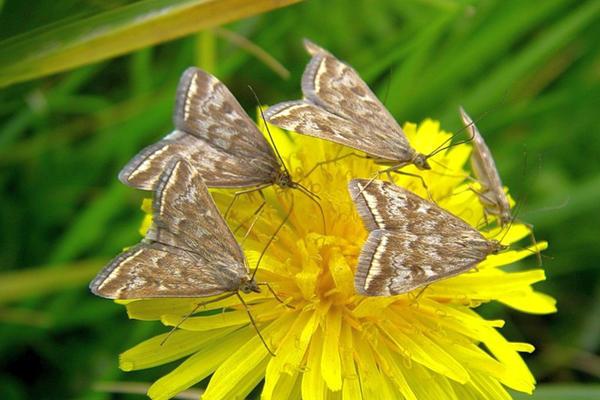 Бабочка мотылька кормится нектаром цветков. Фото с сайта blogs.amur.info