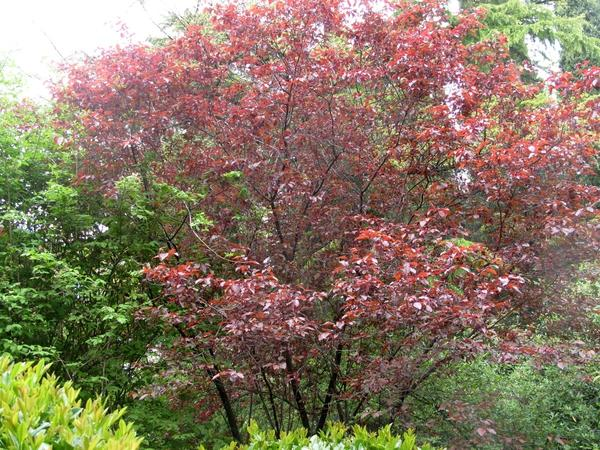 Слива вишнелистная Писсарда, фото автора