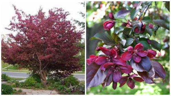 Malus Royalty, внешний вид. Фото с сайта fast-growing-trees.com. Цветущий побег. Фото с сайта ebay.co.uk