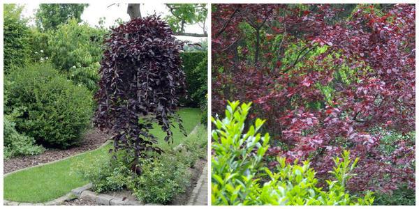 Береза повислая Пурпурная. Фото с сайта zpitomnik.ru. Слива вишнелистная Писсарда в пейзажном саду, фото автора