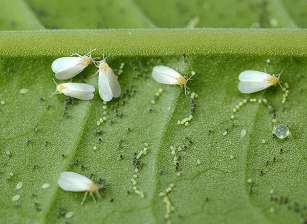 Кладки яиц белокрылки. Фото с сайта i.mycdn.me