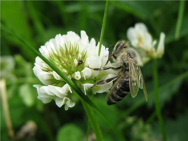 Белый клевер не останется без внимания пчел. Фото с сайта beebazar.ru