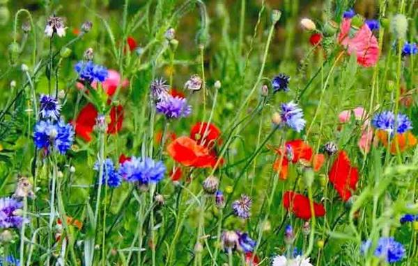 В общей массе отцветшие цветы не так уж и заметны. Фото с сайта gid-str.ru