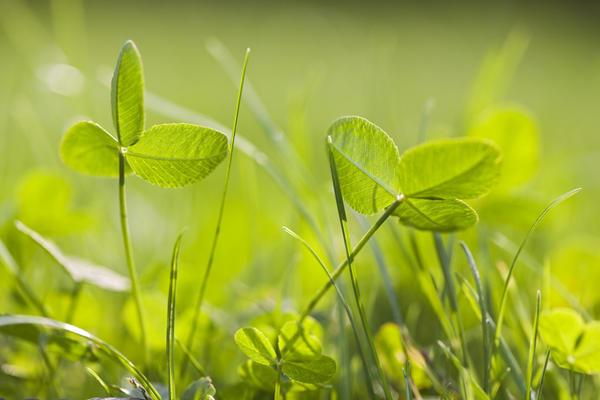 Листики клевера сохраняют яркий цвет с ранней весны до поздней осени
