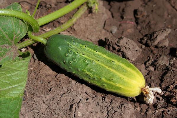 Для долгого плодоношение важно правильно подкармливать огурцы