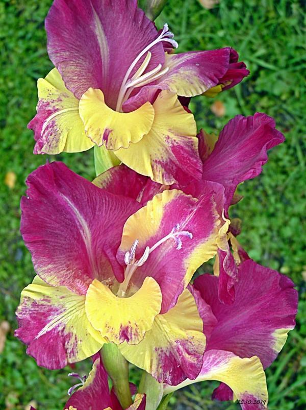 Гладиолус гибридный. Фото пользователя сайта TatyanaZimina