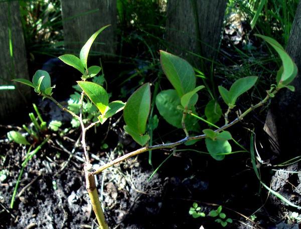 После внесения удобрений листва часто приобретает яркую окраску. Фото автора