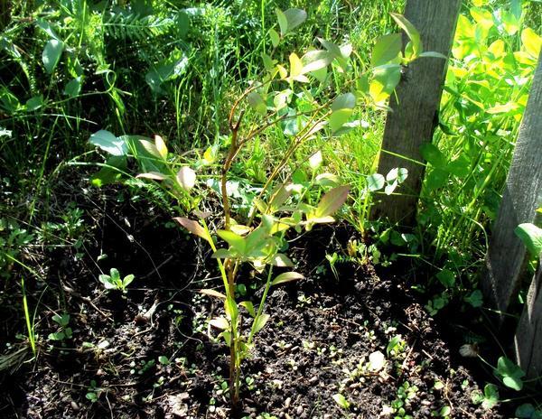 На посадку в подходящий грунт садовая голубика реагирует хорошим приростом. Фото автора