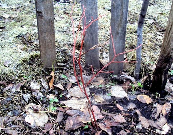 Осенью удаляют только засохшие (на фото - в центре) веточки. Фото автора