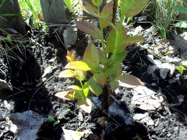 Подкисление почвы способствует росту молодых побегов. Фото автора