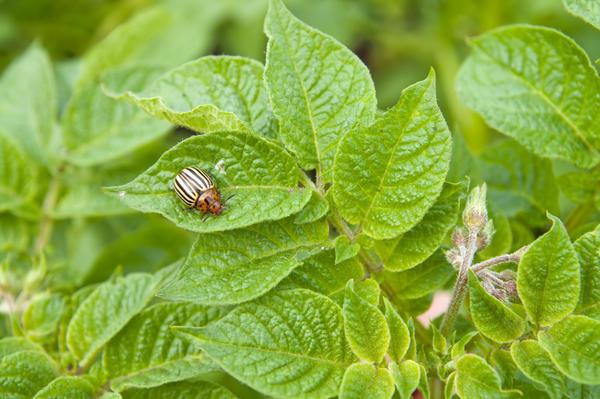 Сорта картофеля, устойчивые к колорадскому жуку - мечта огородника