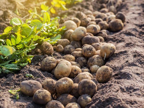 Выкопать картофель, оставить его рядом с гнездами