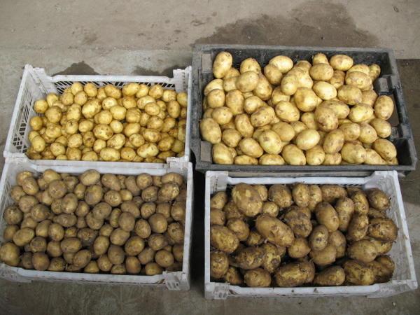 Перед закладкой на хранение картофель сортируют по размеру. Фото с сайта dachseason.ru