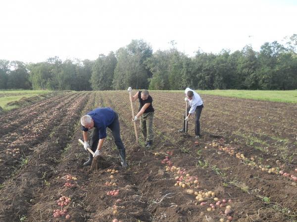 Не обязательно убирать всю картофельную делянку сразу. Фото с сайта ic.pics.livejournal.com