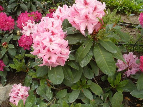 Бордюр из вечнозеленых рододендронов в цветении, фото автора