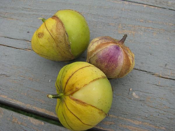 Спелые плоды физалиса овощного